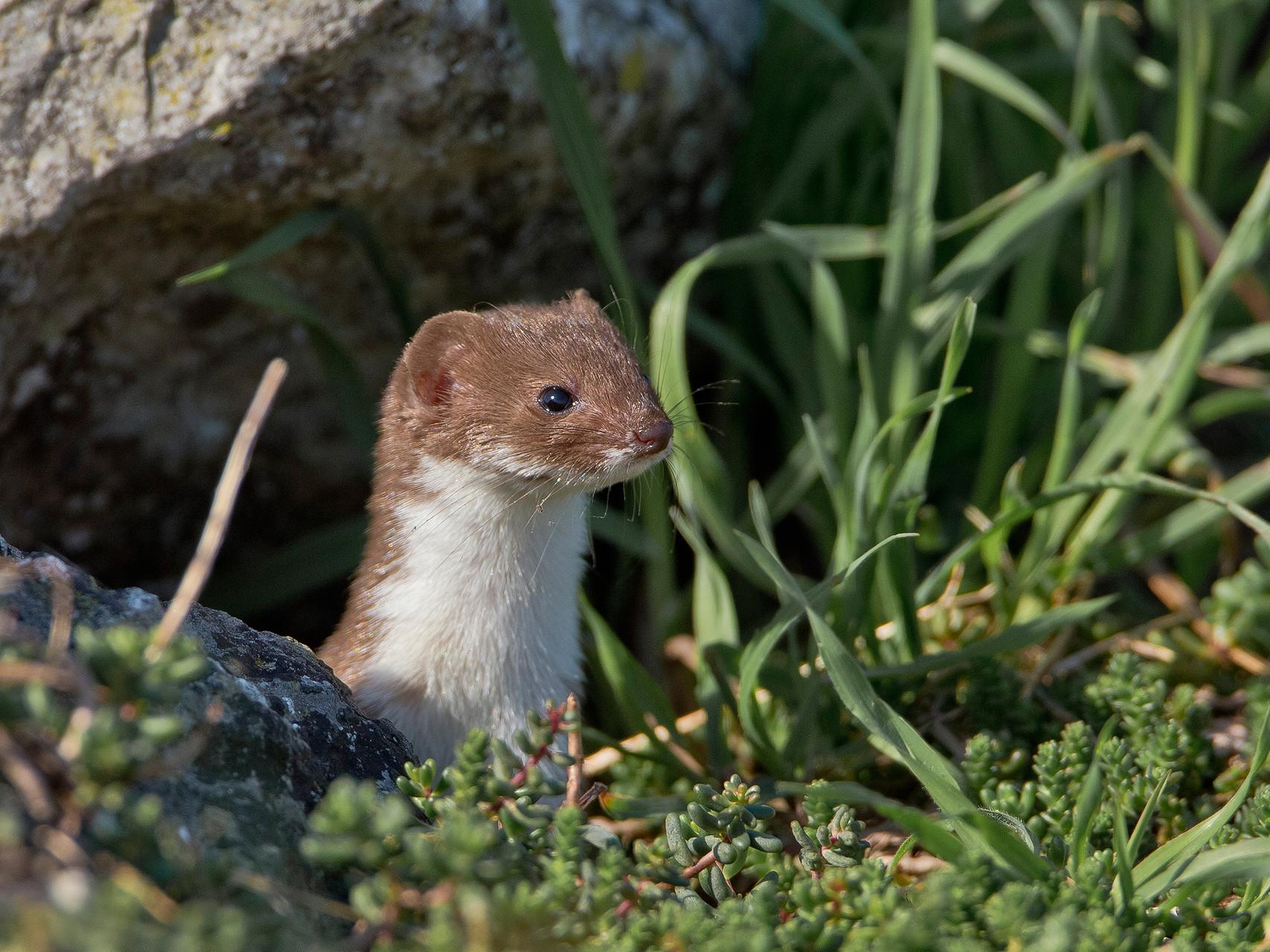 ...ist ein Vorkommen von Mauswieseln in beinahe jedem Lebensraum zu erwarten.