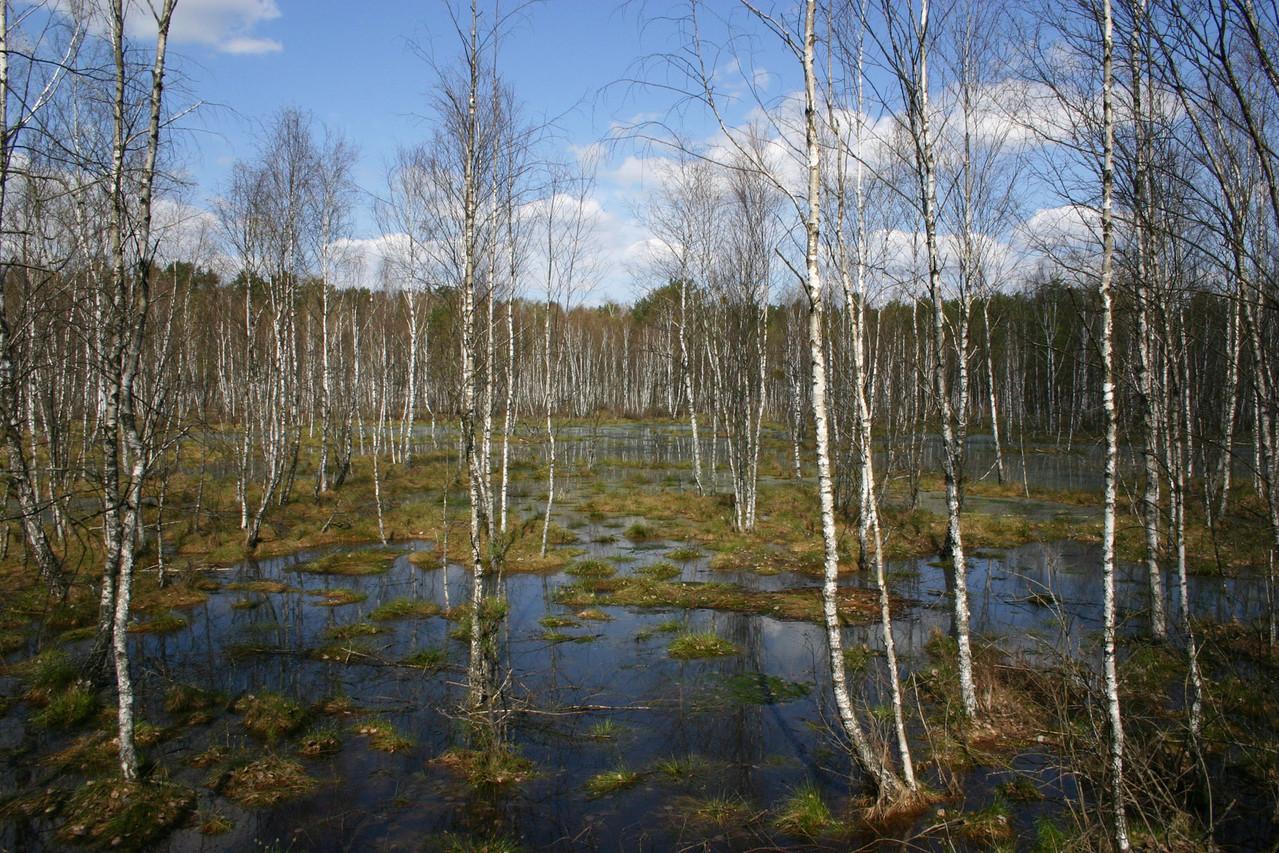 Hübsch: überfluteter Birkenwald in der Nähe von Dluga Luka