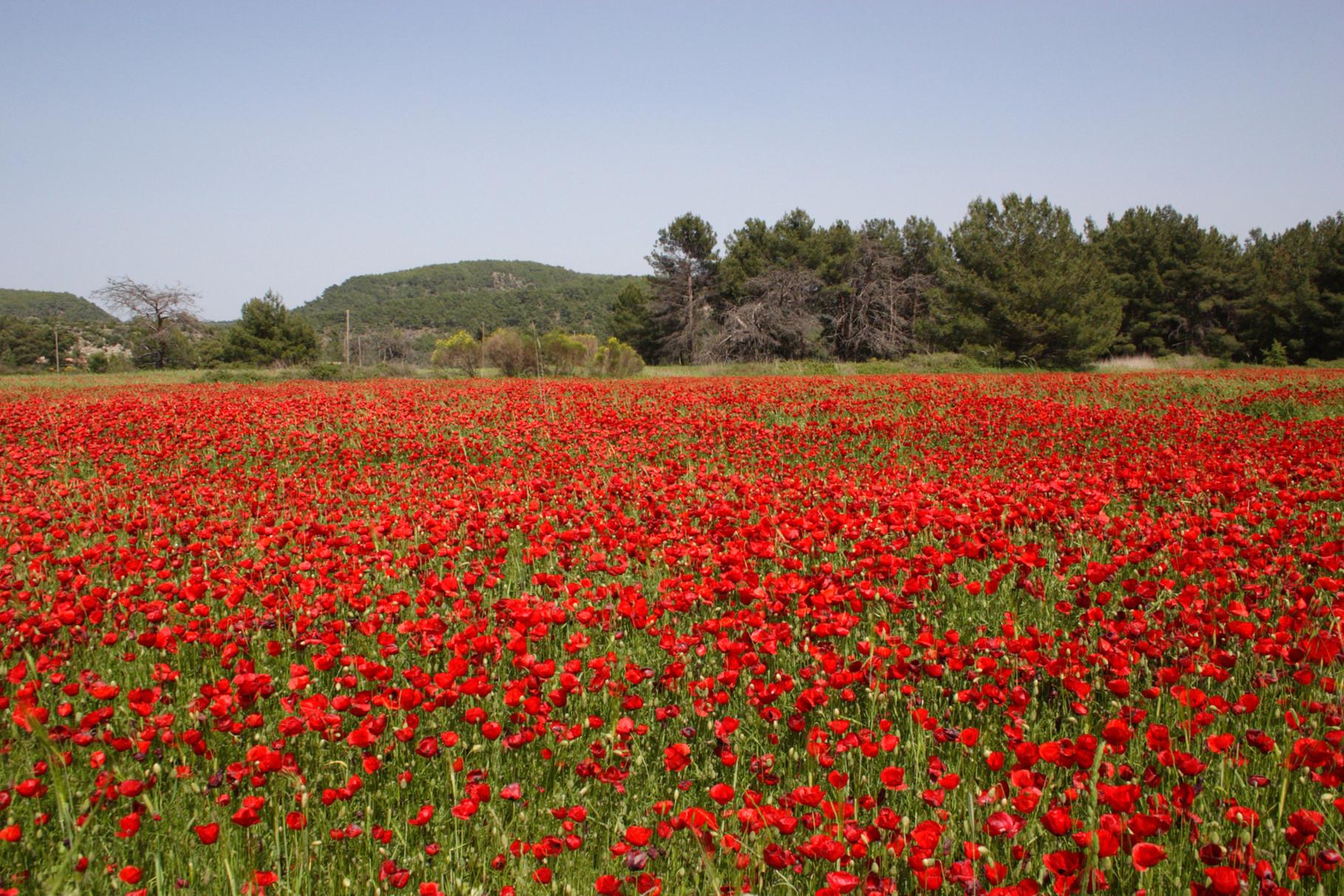 Auf dem Weg zum Achladeri Forest trifft man auf ein wunderschönes Mohnfeld