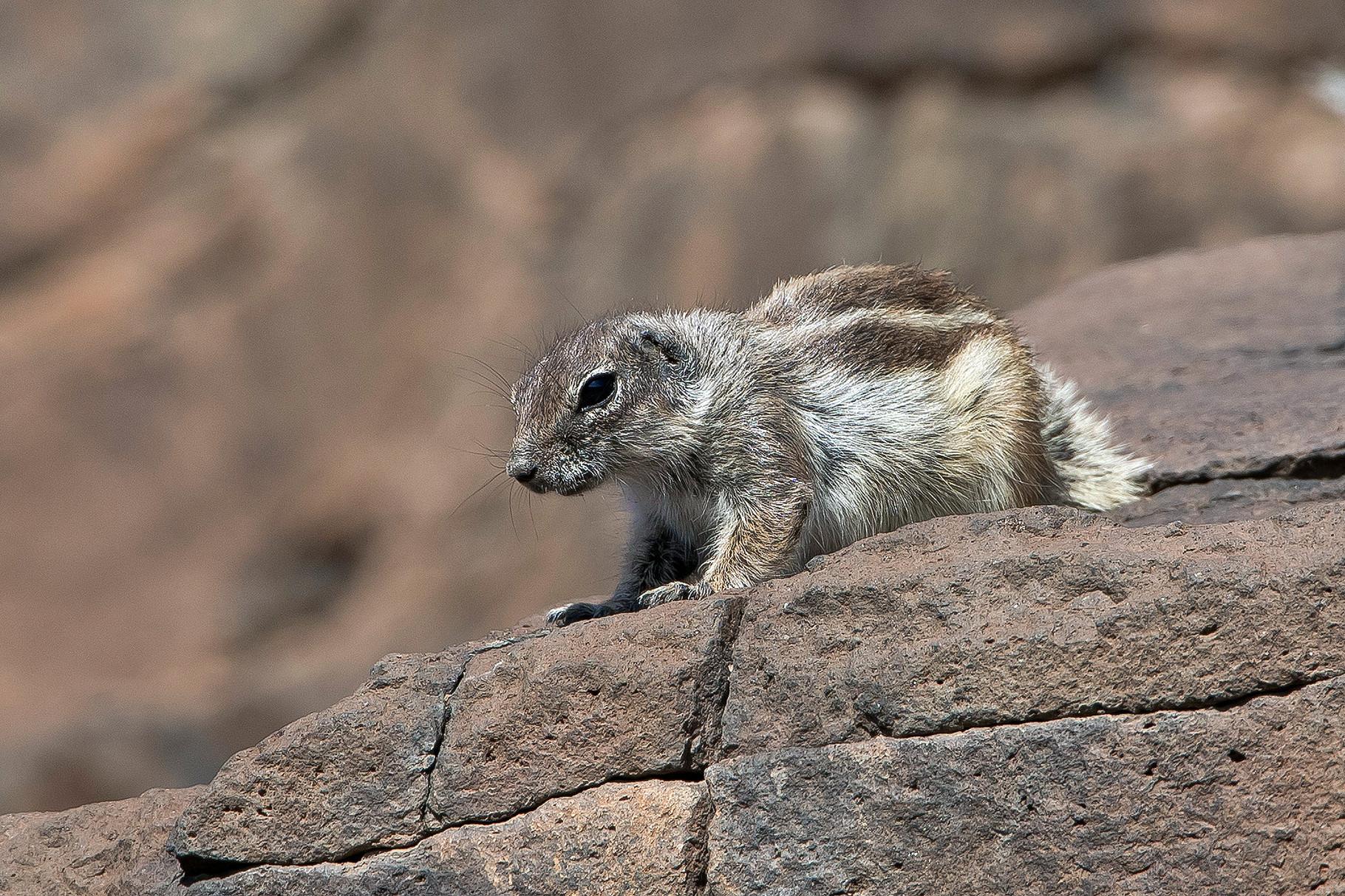 Das einzige häufig zu beobachtende wildlebende Säugetier auf der Insel...