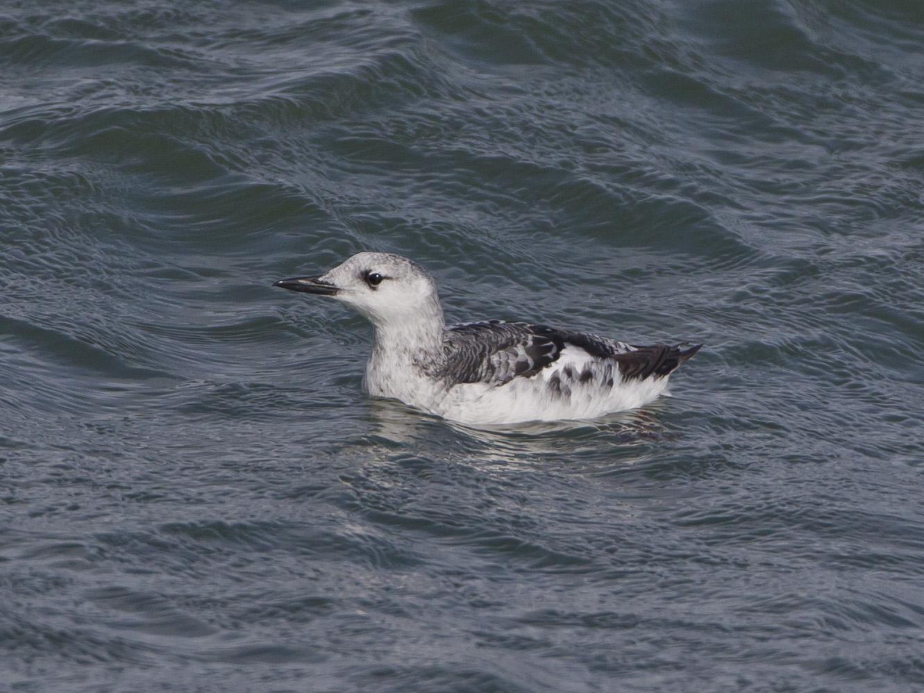 Viele Seevögel hatten ihre Mühe mit den stürmischen Winden, wie diese Gryllteiste ...