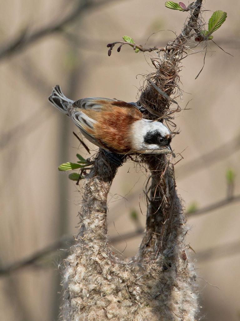 Beutelmeisen-Nest: das Männchen ist mit der Fertigstellung seines Kunstwerks beschäftigt