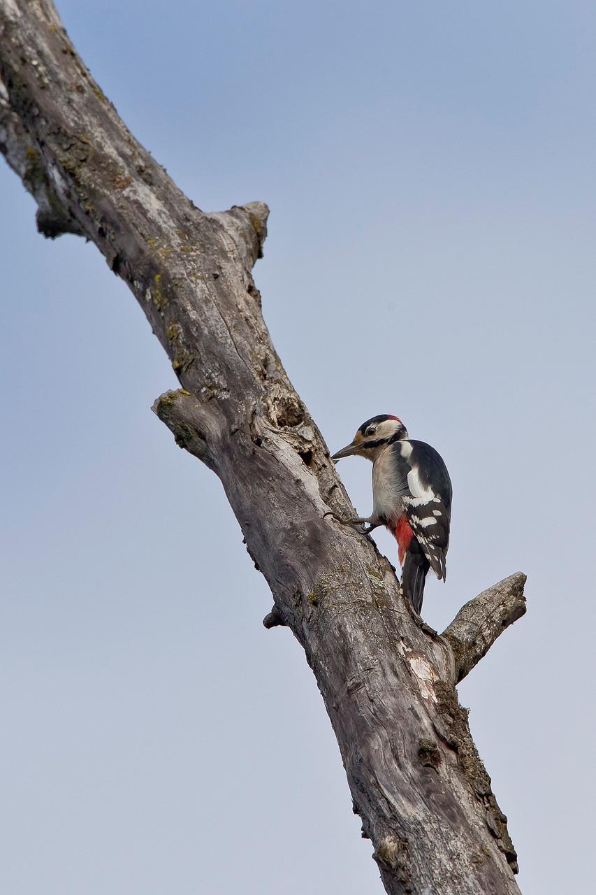 Mit seinem starken Schnabel und bemerkenswerter Wucht zerkleinert der Buntspecht morsches Holz, ...