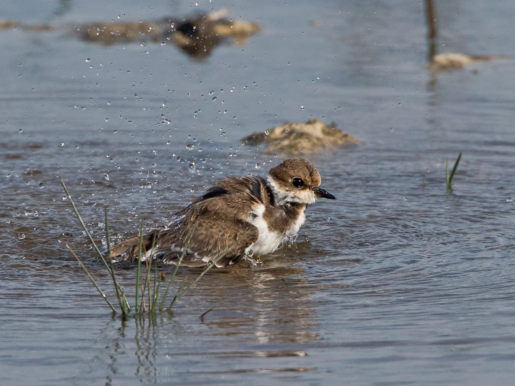 Ein Seeregenpfeifer nimmt ein kühlendes Bad...