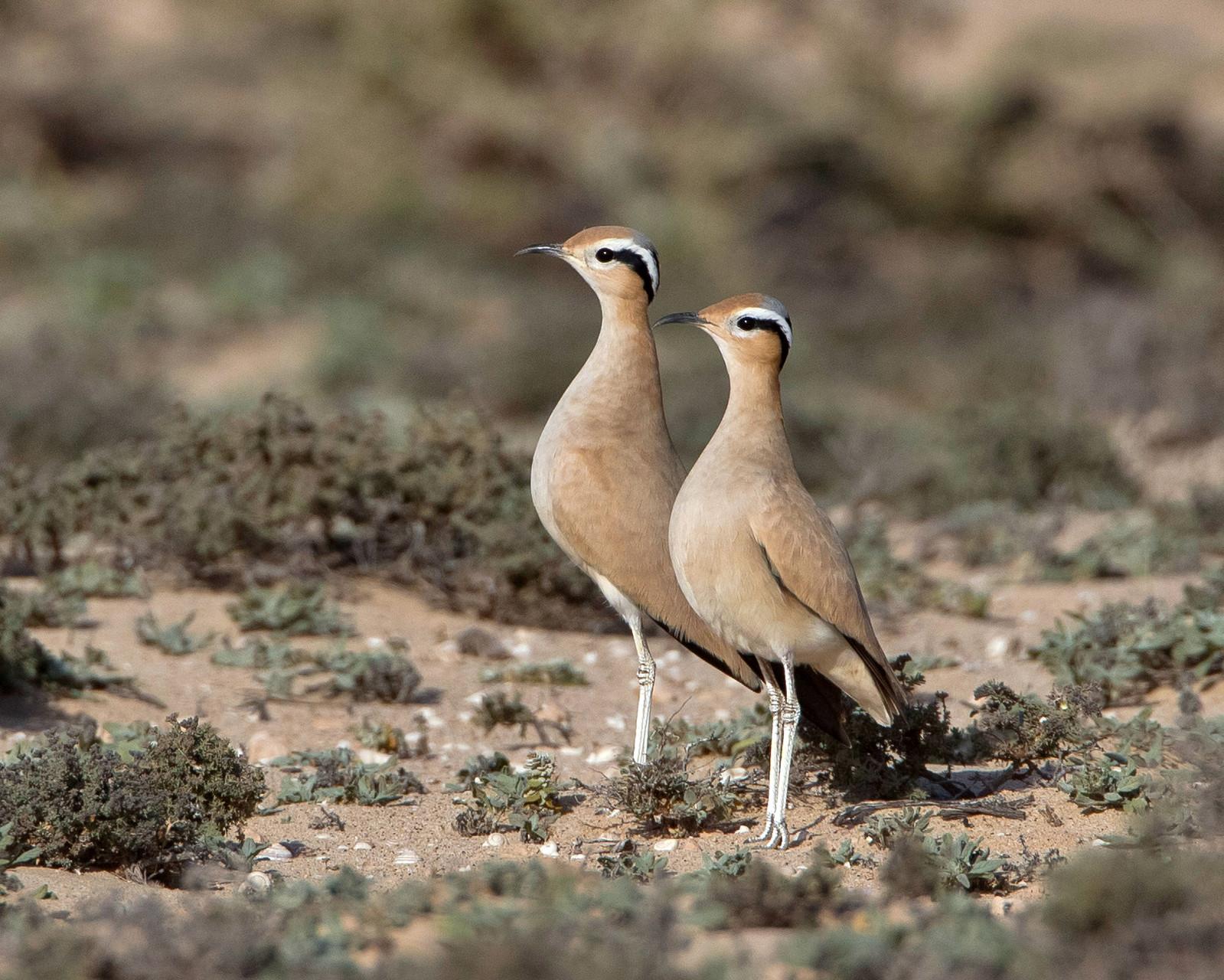 Rennvogel, Fuerteventura, Spanien