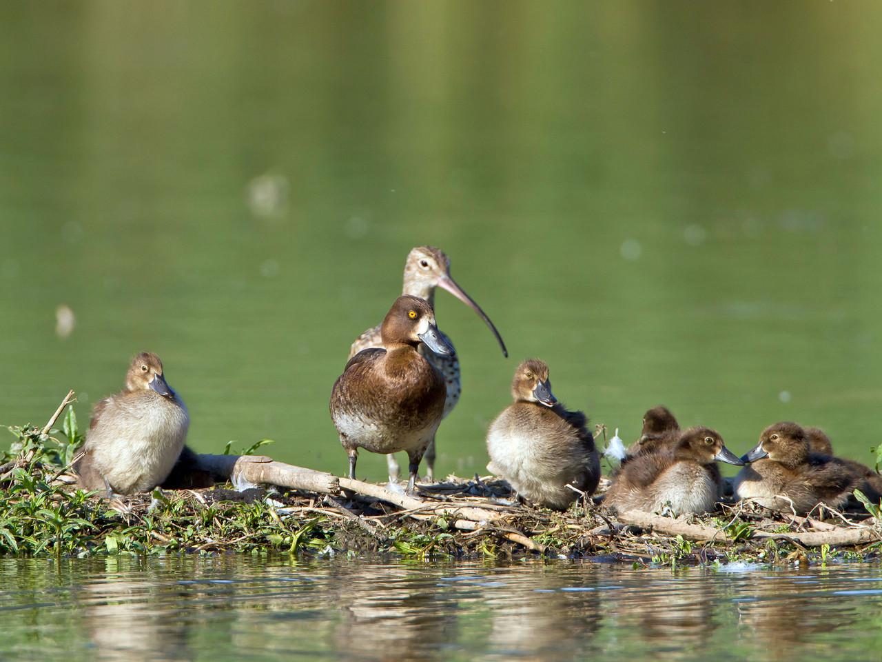 Reiherenten-Familie mit Grossem Brachvogel, Klingnauer Stausee, Schweiz
