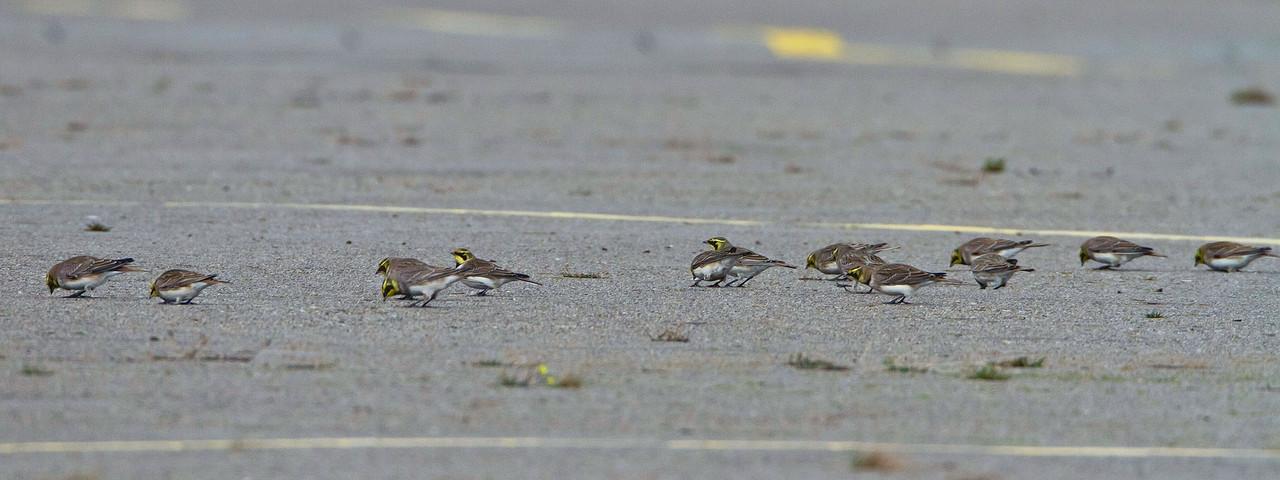 Trupp von Ohrenlerchen auf dem Helikopter-Landefeld