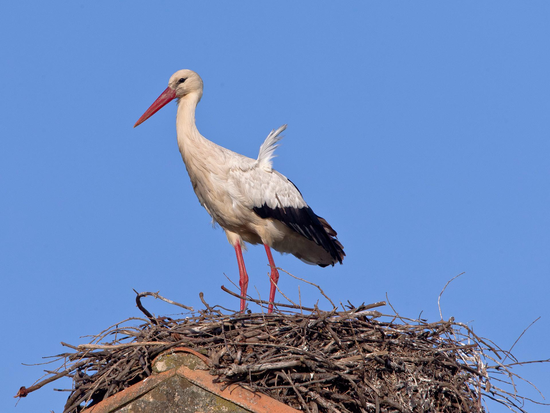 Ein Weissstorch, einsam auf seinem Nest (wartet er auf seinen Partner?)