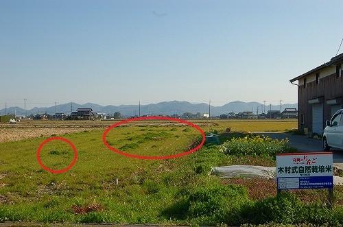 看板が目印、当会認証の木村式自然栽培の田んぼです  偽称や自称「木村式」が増えているのでご注意を!