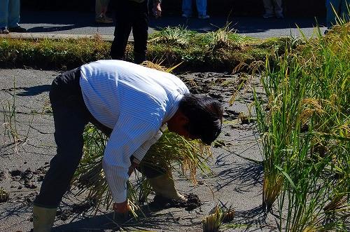 菊池取締役は、ご自身も稲作をされる方。華麗な鎌さばきで、ザザッと2株を同時刈り!