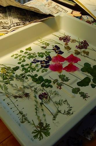 押し花の材料は全部田んぼの周りのもの