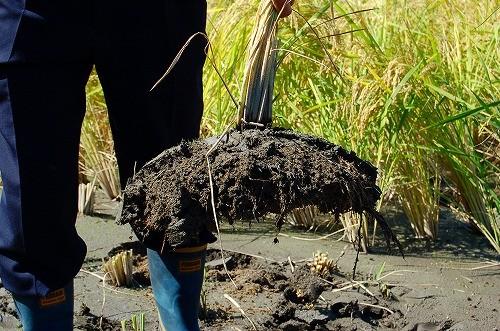 これが自然栽培米の根!