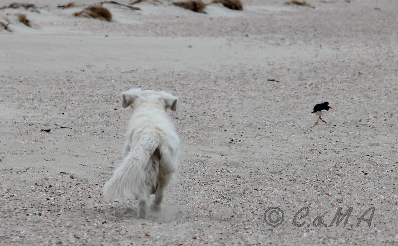... und jagt dem Strandläufer hinerher ...