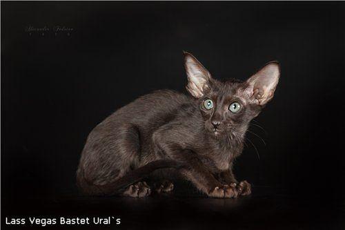 Lass Vegas Bastet Ural`s, male, OSH n вл. Царегородцева Алиса г.Екатеринбург