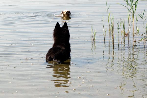Foxi bei Schwimmen beobachten