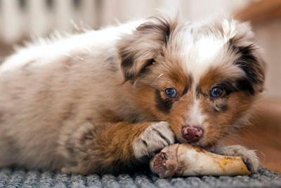 08.03.2011 - Foxi mit einem Lammknochen