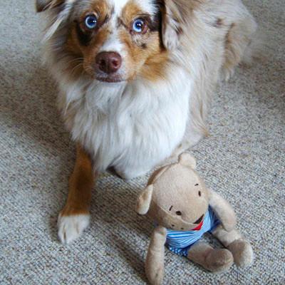 4.11.2011 Foxi fällt es schwer den Teddybear liegen zu lassen, aber sie schafft es!!!