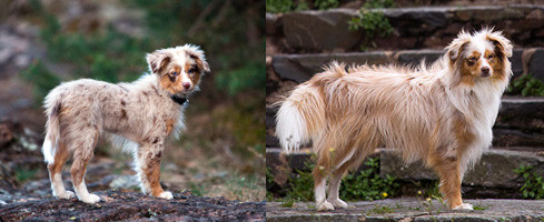 Foxi im Stehen - links im April 2011, rechts im September 2012 (dasselbe Halsband ist im Fell verschwunden!)