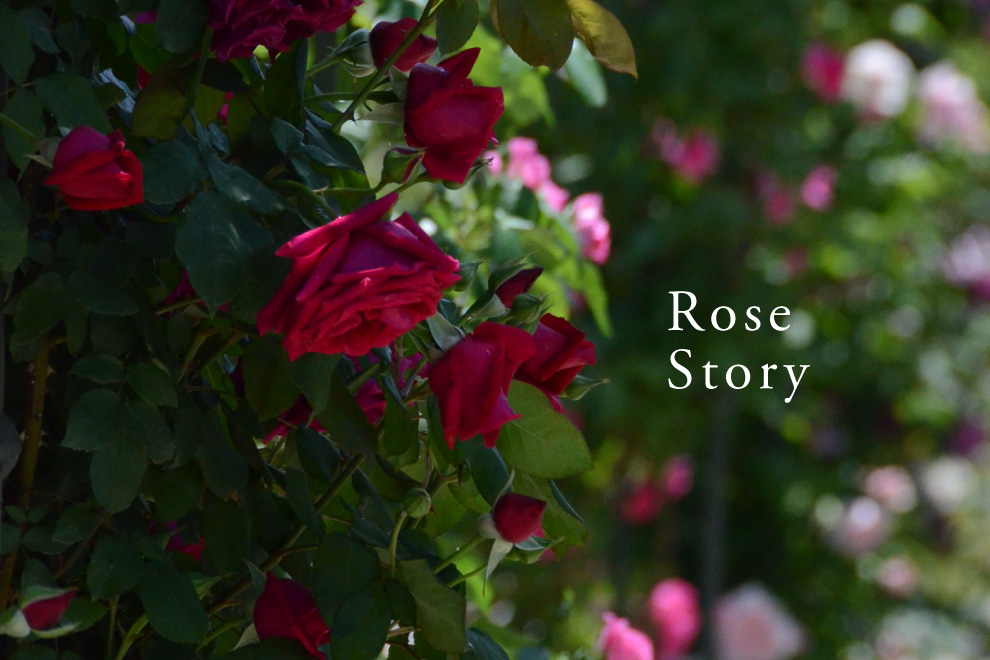 Rose Story