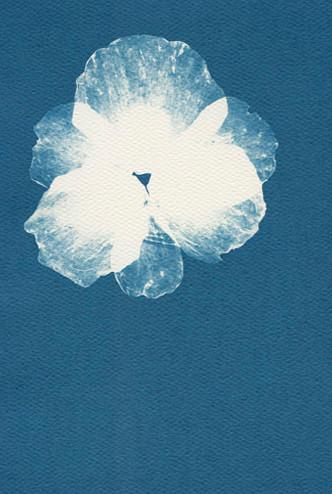 Eliana Bürgin-Lavagetti   Blues 2011, gepresste Mohn Blüte, Cyanotypie auf Aquarellpapier 180 g/m2, kalt gepresstes Papier aus 100% Baumwollfasern, Blattgrösse 12 x 17 cm (verkauft)