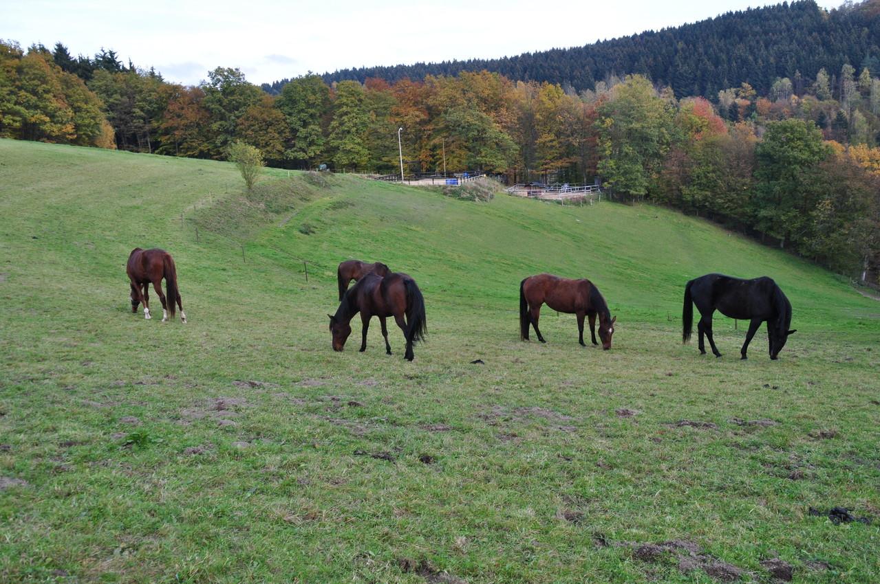 Die Pferde auf der Weide