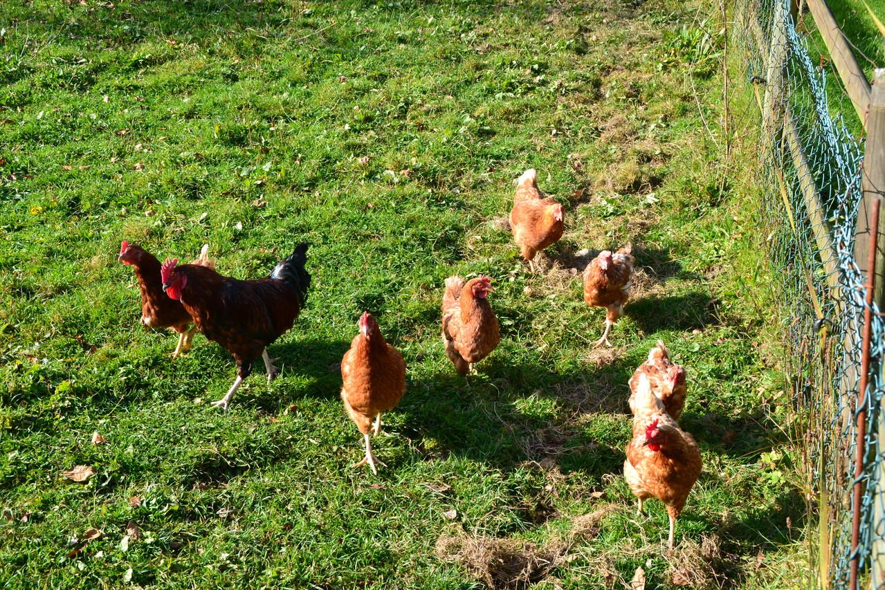 Unsere Hühner leben frei