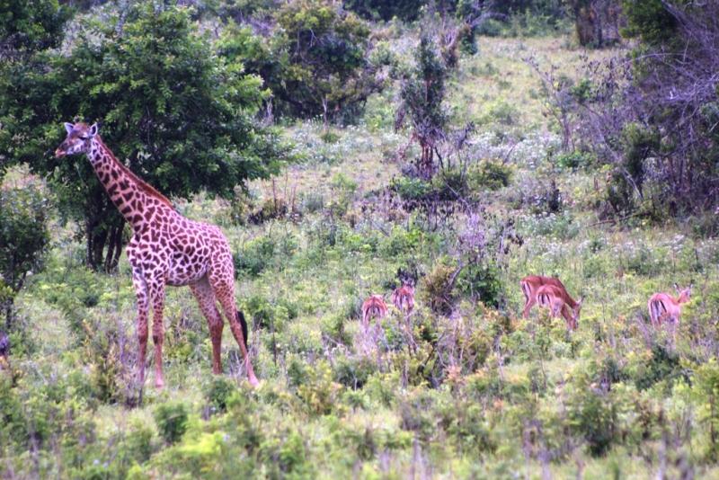 Giraffe und Impala