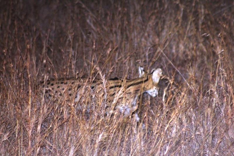 Serval auf der Nachtpirsch
