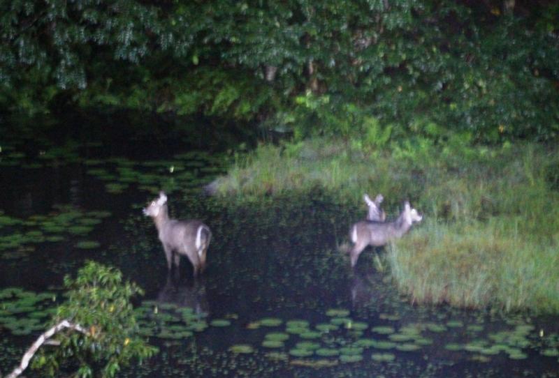 Wasserböcke im Teich bei der Lodge