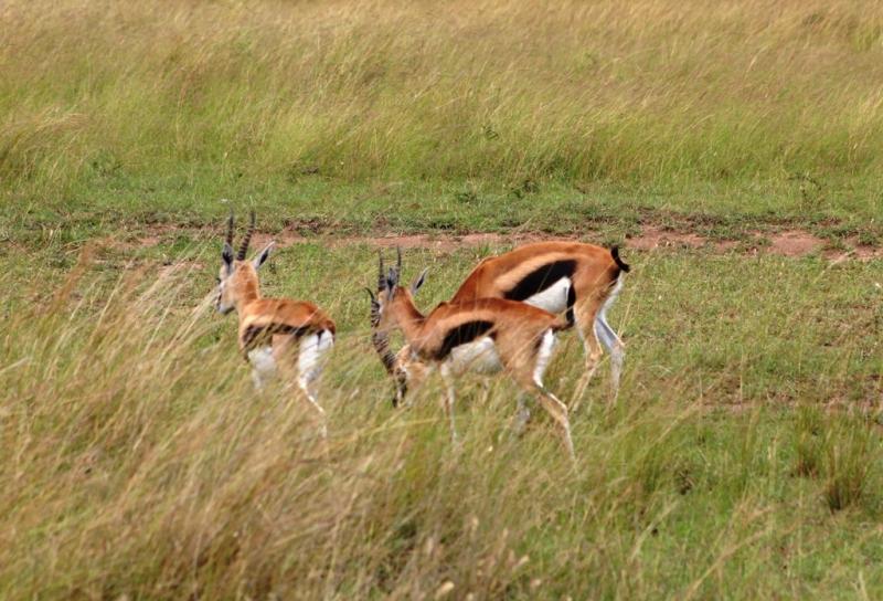 Thomsongazelle
