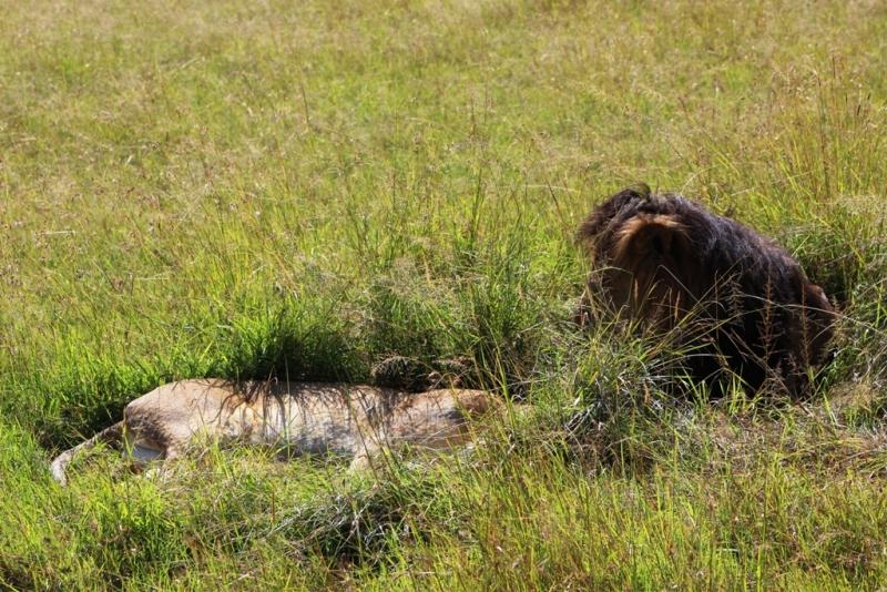 noch mehr Löwen