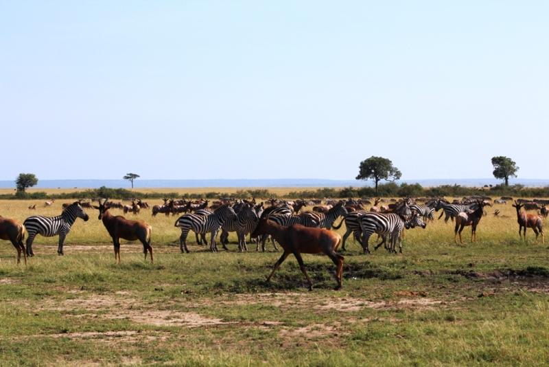 Leierantilopen und Zebras