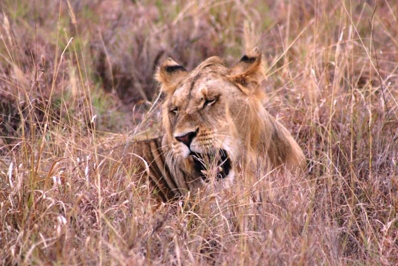 Löwen ganz in Familie
