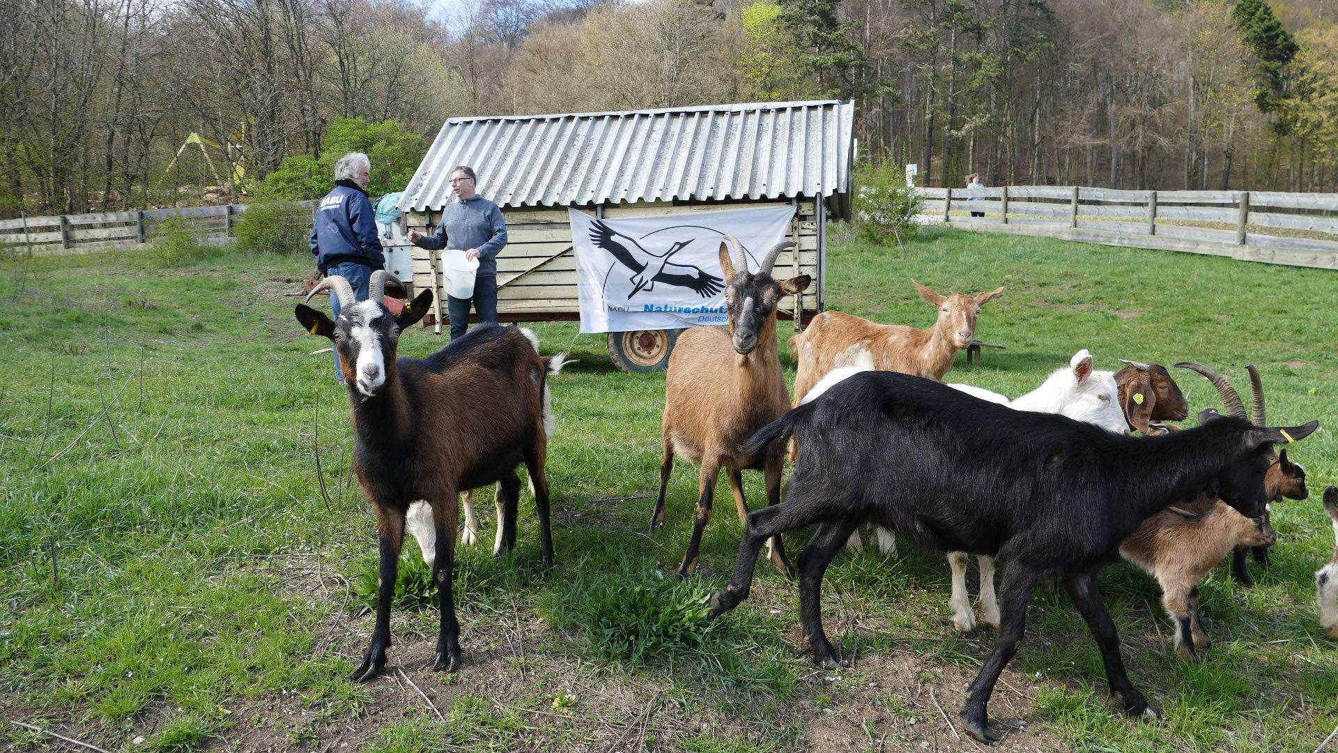 Der NABU und die Ziegen ein Team