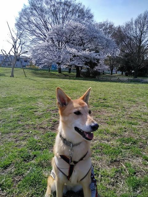 御衣黄が咲く公園。