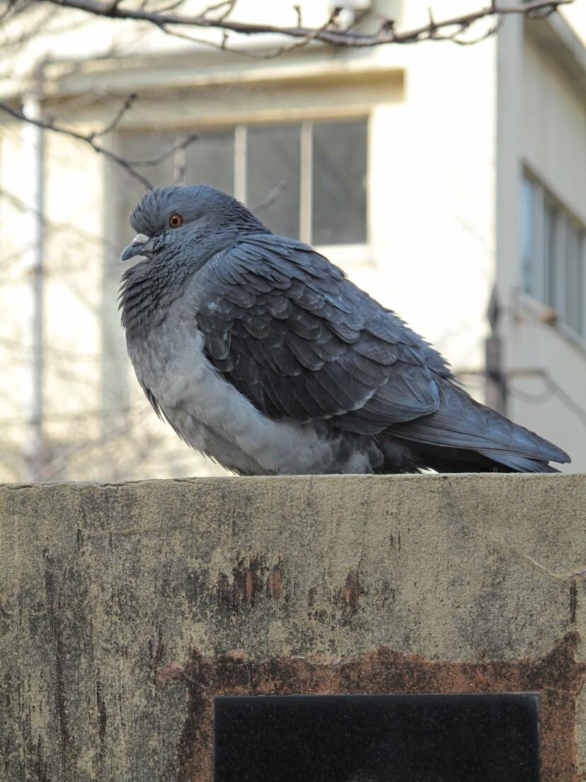 ◆神田川の寒そうな鳩。