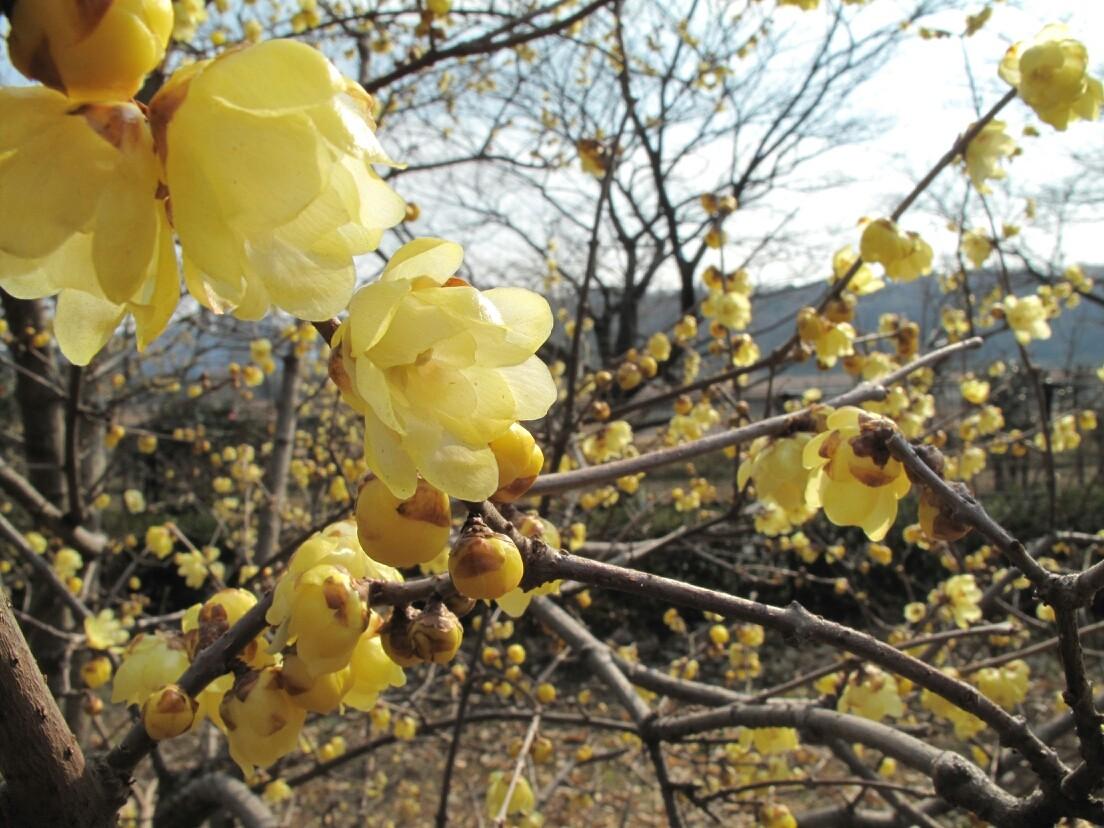 ◆素芯蝋梅。   郷土の森公園 (東京都府中市)
