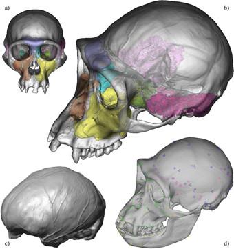 Caractères internes du spécimen type du bonobo