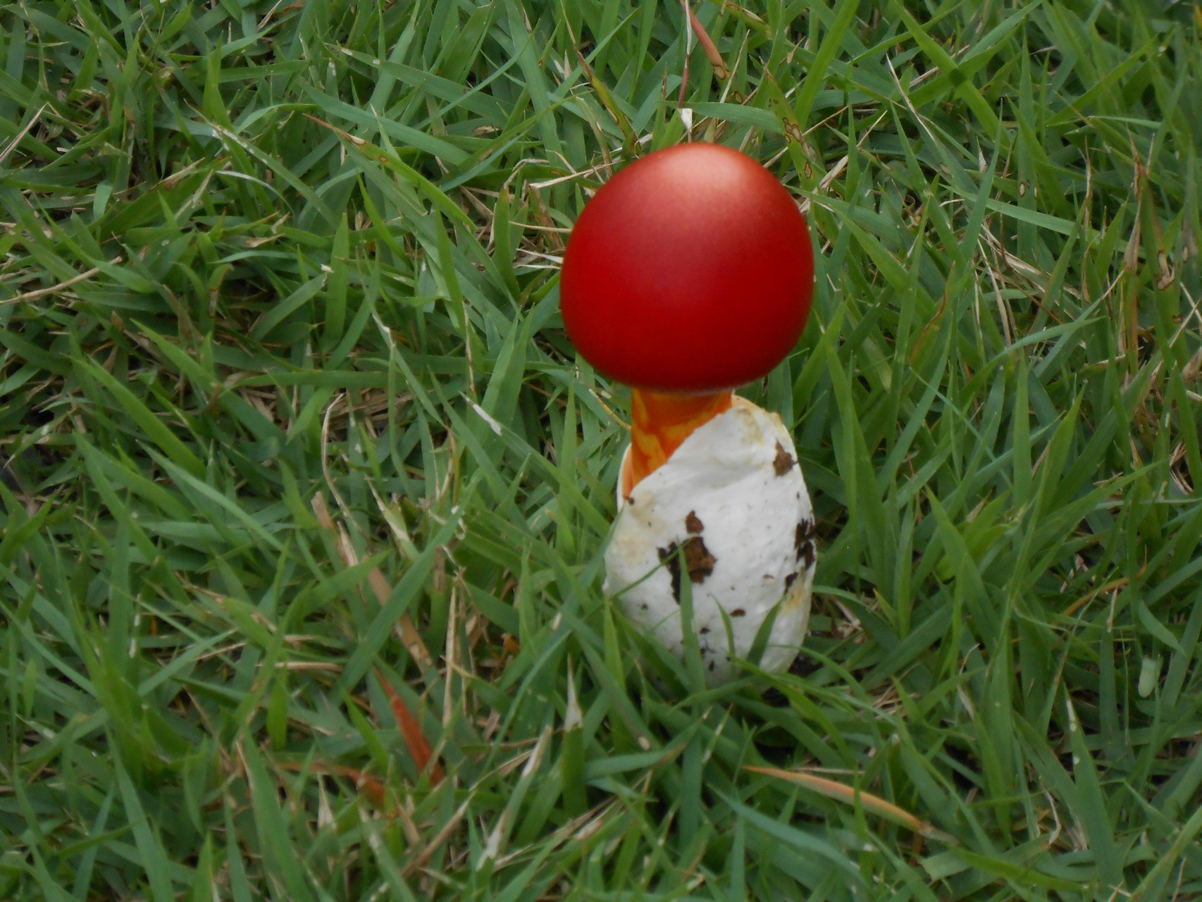 下山後、芝生の上に置いた輝く?かわいいタマゴタケ