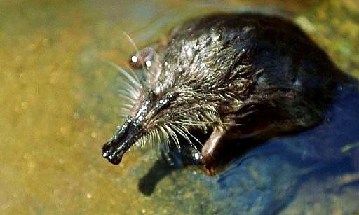Le Desman des Pyrénées, petit mammifère insectivore endémique très rarement observé est étudié, est l 'habitant des eaux de l 'Ourse le plus menacé.