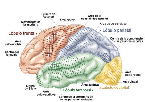 Los tres cerebros - Centro Elim
