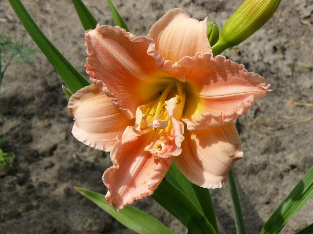 D. CLASSIC [Сайлэуэм Дабл Клэссик] Henry'88, Dor, 40-12, Dip. SSM'93     Махровый розовый - считается лучшим. Лепестки округлые с оборками.