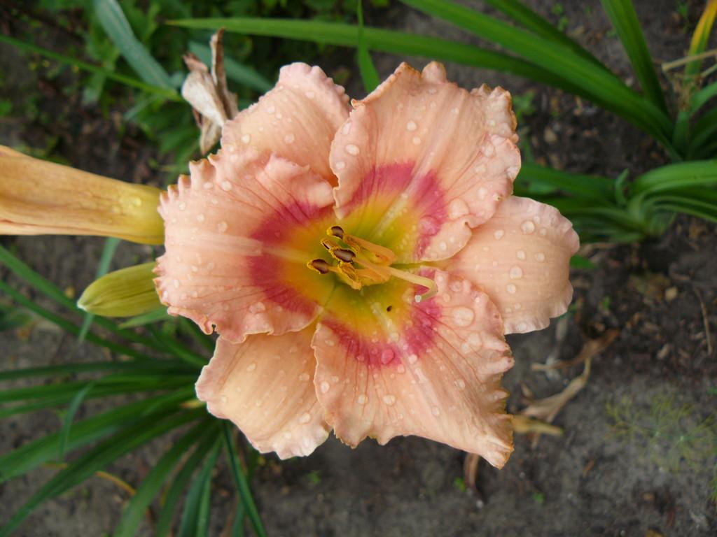 FRESH AROMA [Фреш Арома] Wild'92, 70-14     Розовый с клубничным ареолом вокруг зеленого горл., округлые лепестки с оборк.