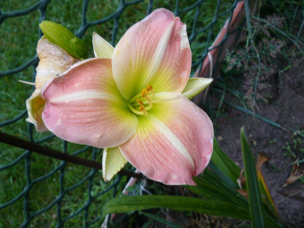 CHERRY  TIGER  высота 65см, диаметр цветка 13см, цветение июнь-июль, насыщенный аромат
