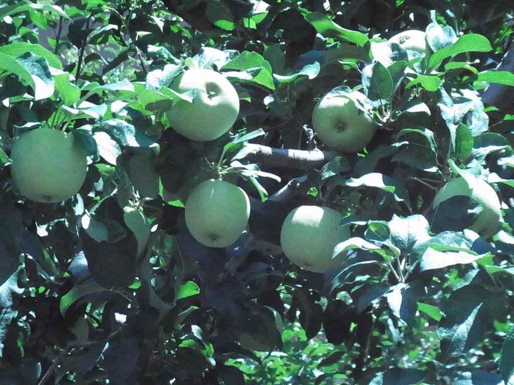 すでにたわわなりんご並木。