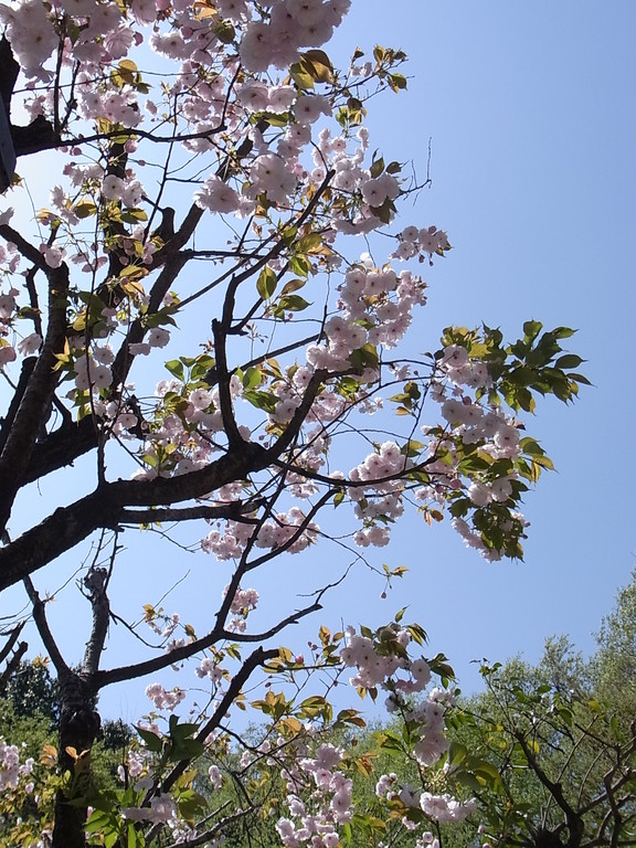 入口の八重桜が満開。