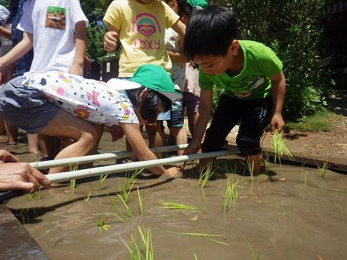お米の植え方を教えてもらったので園でも田植え♪ほうきを使って等間隔で植えたんですよ。