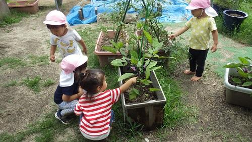 ピッコロの畑には夏野菜がいっぱい。きゅうりにトマトになすび・・・。「あっ!なすびあった!」