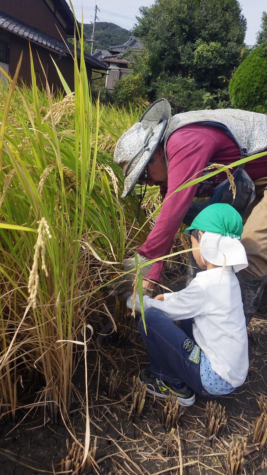 「菜園活動」やまぐみ(5歳児)はご近所の田んぼで稲刈りのをさせてもらいました。