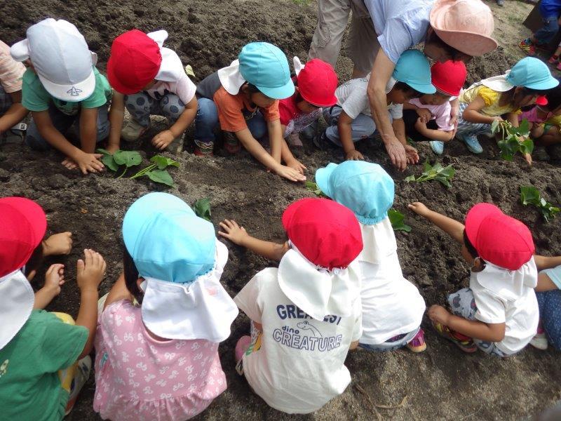 「さつまいもの苗植え」ピッコロ菜園にさつま芋が仲間入り。おいしいさつま芋にな~れ!